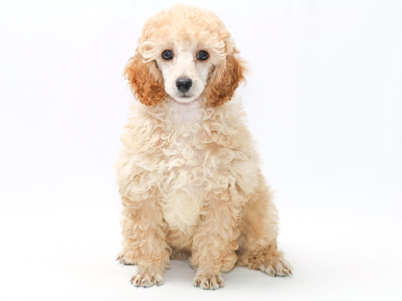 Poodle-Female-Apricot-2379324-My Next Puppy