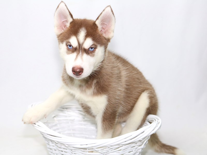 Siberian Husky-Female-Red / White-2392183-My Next Puppy