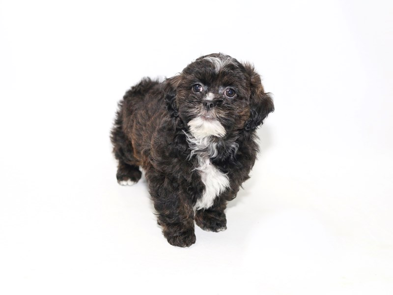 Poodle/Shih Tzu-Male-Brindle-2392189-My Next Puppy