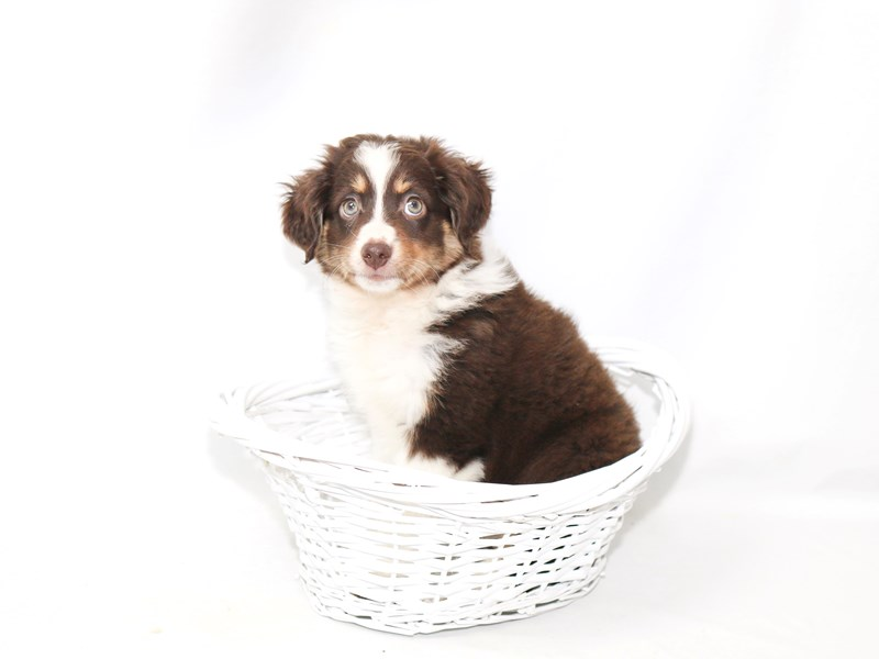 Australian Shepherd-Female-Red-2392190-My Next Puppy