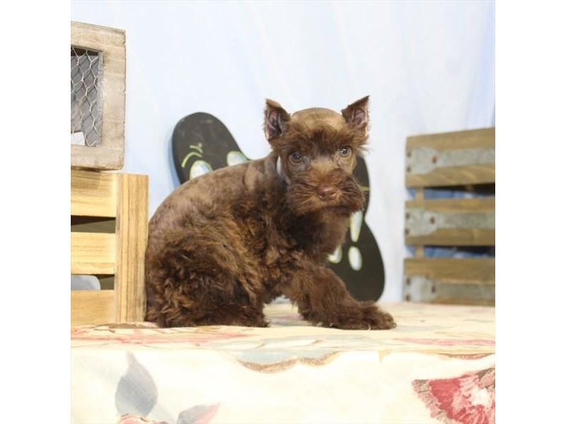 Miniature Schnauzer-Female-Chocolate-2397081-My Next Puppy