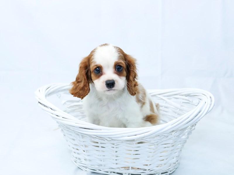 Cavalier King Charles Spaniel-Male-Blenheim/white-2405807-My Next Puppy