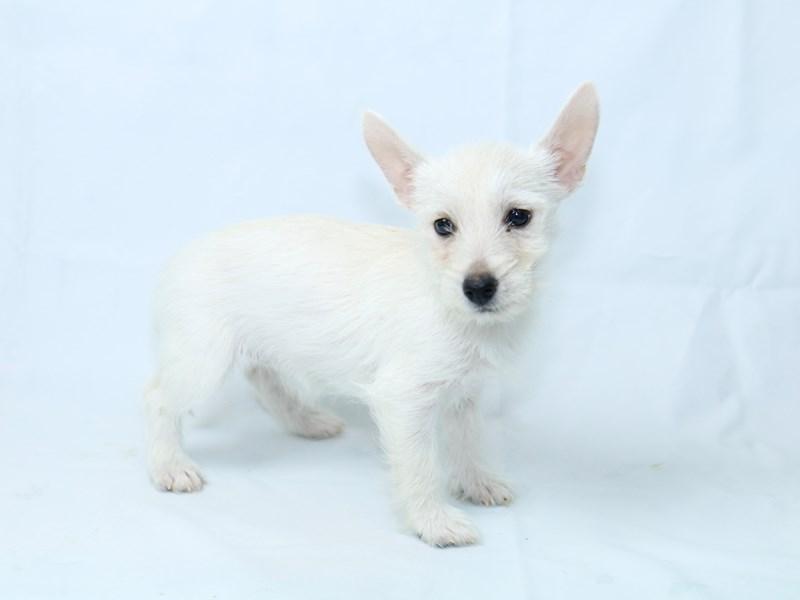 West Highland White Terrier-Female-White-2403519-My Next Puppy