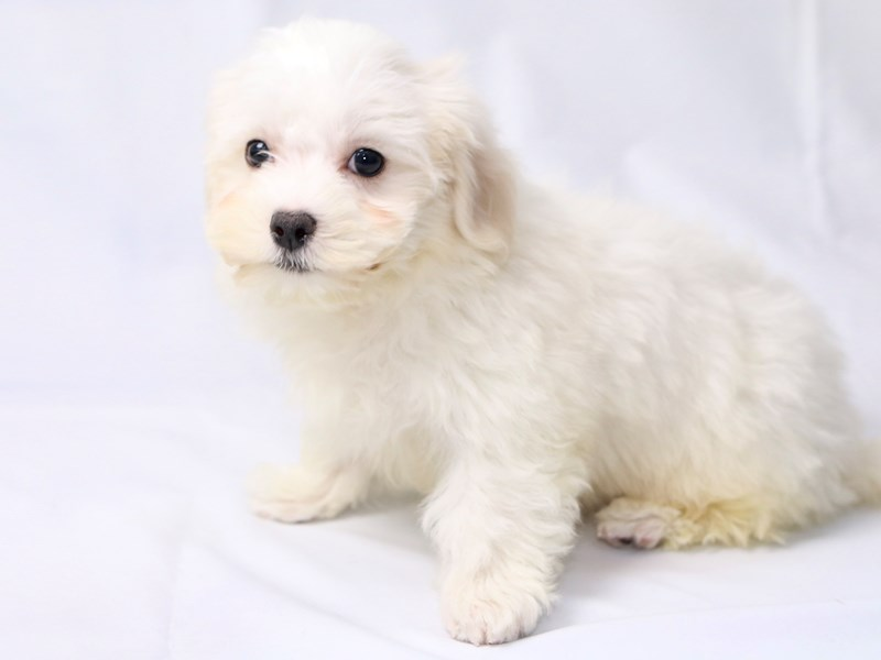 Maltese-Male-White-2410549-My Next Puppy