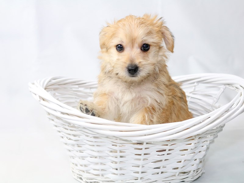 Morkie-Female-Gold-2410638-My Next Puppy