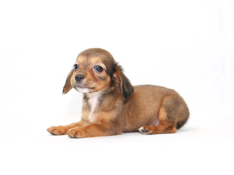 Chiweenie-Female-Wild Boar-2415041-My Next Puppy