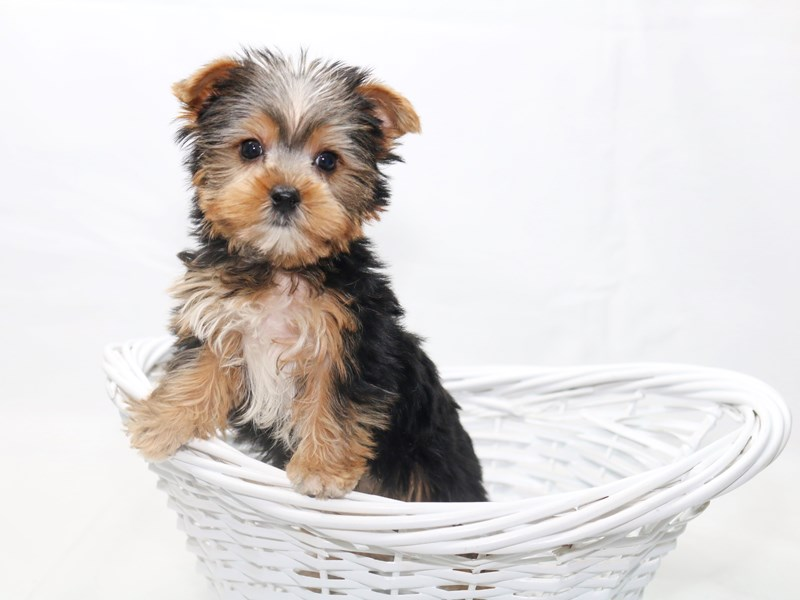 Yorkshire Terrier – Rusty