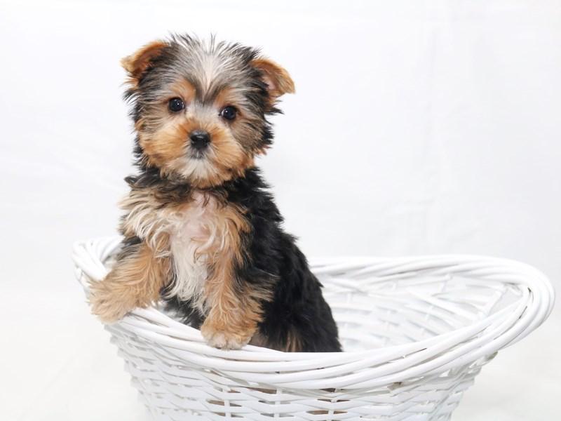 Yorkshire Terrier-Male-Black / Tan-2415042-My Next Puppy
