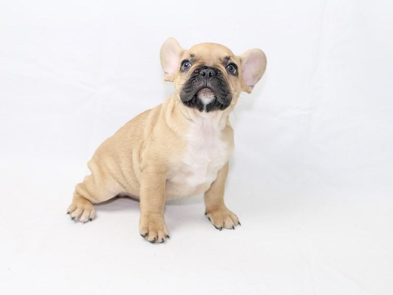 French Bulldog-Male-Fawn-2415043-My Next Puppy
