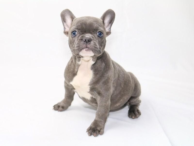 French Bulldog – Lexi
