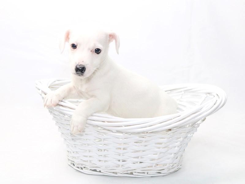 Jack Russell Terrier – Murphy