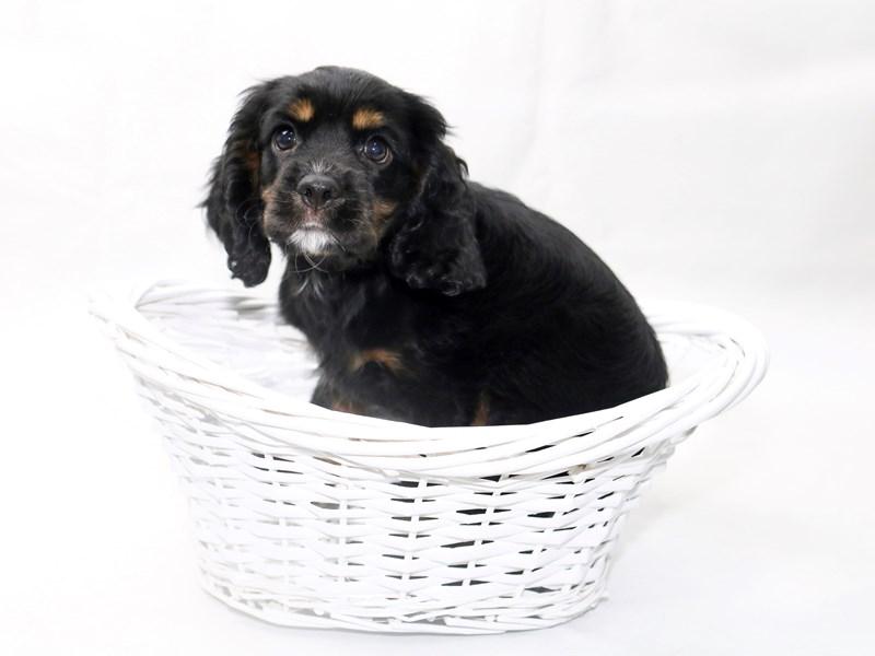 Cavalier King Charles Spaniel-Male-Black / Tan-2415047-My Next Puppy