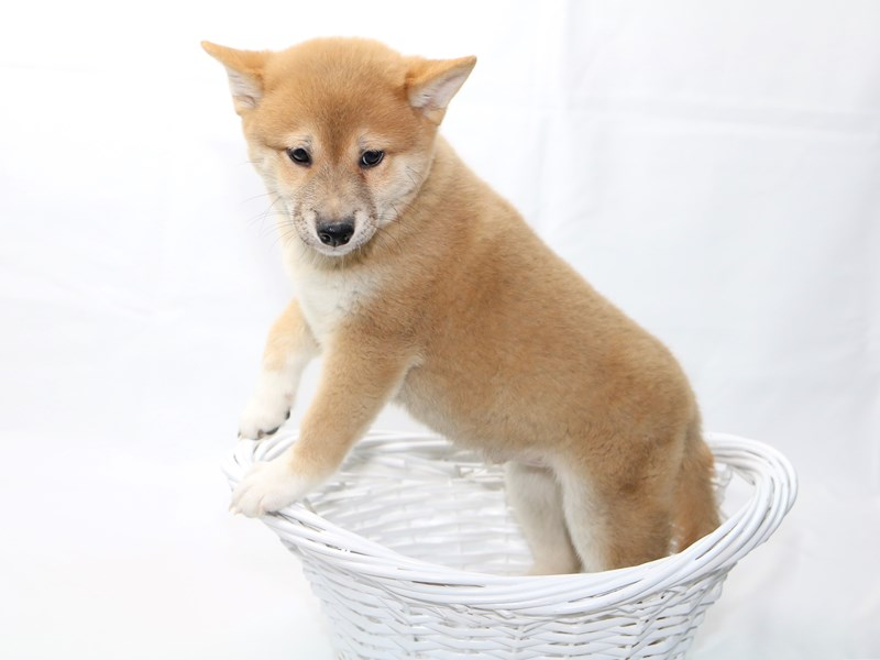Shiba Inu-Male-Red-2415048-My Next Puppy