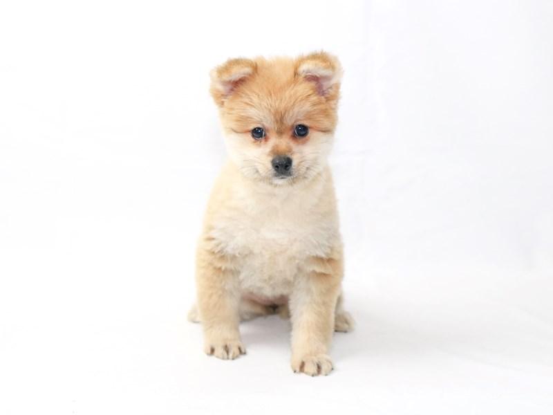 Pomeranian-Female-Sable-2415062-My Next Puppy