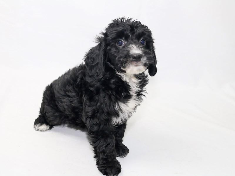 Miniature Goldendoodle-Female-Black-2415224-My Next Puppy