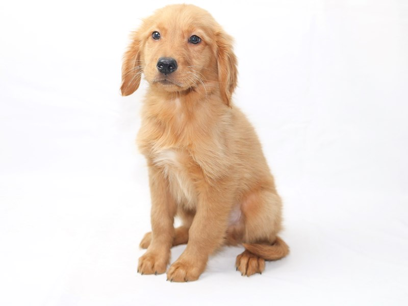 Golden Retriever-Male-Dark Golden-2415226-My Next Puppy