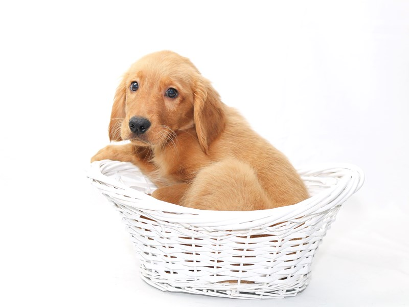 Golden Retriever-Male-Dark Golden-2415227-My Next Puppy