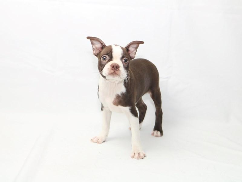 Boston Terrier-Female-Red-2415266-My Next Puppy