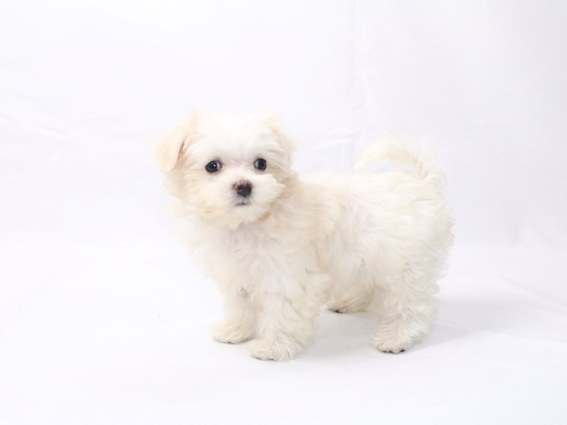 Maltese-Male-white-2418039-My Next Puppy