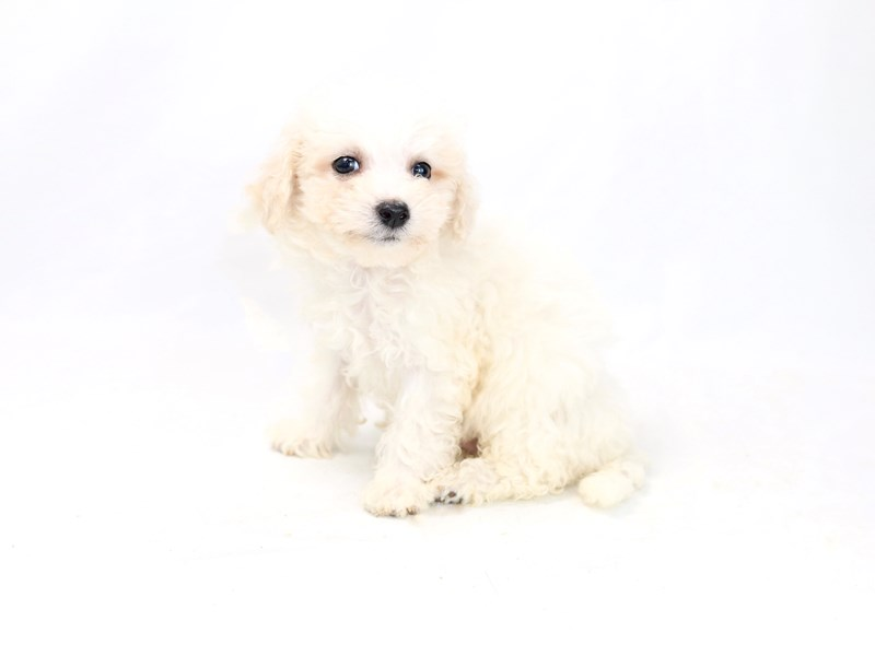 Bichon Frise-Male-White-2423304-My Next Puppy