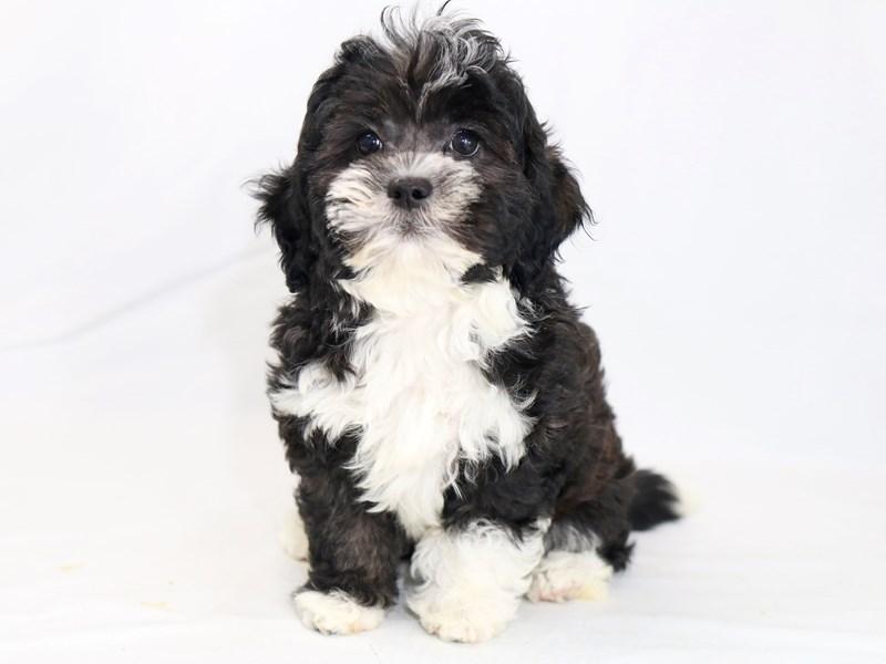 ShizaPoo-Male-Black-2423310-My Next Puppy