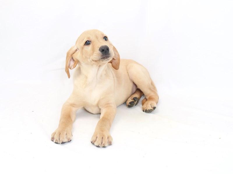 Labrador Retriever – Orion