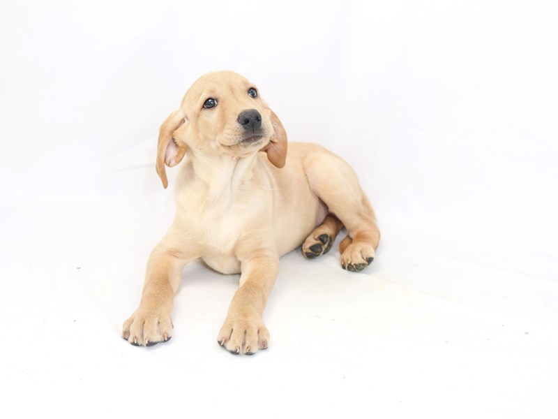 Labrador Retriever-Male-Yellow-2423317-My Next Puppy