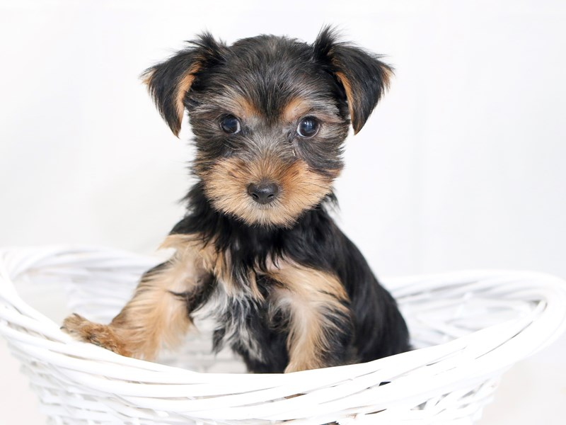 Yorkshire Terrier – Bruno
