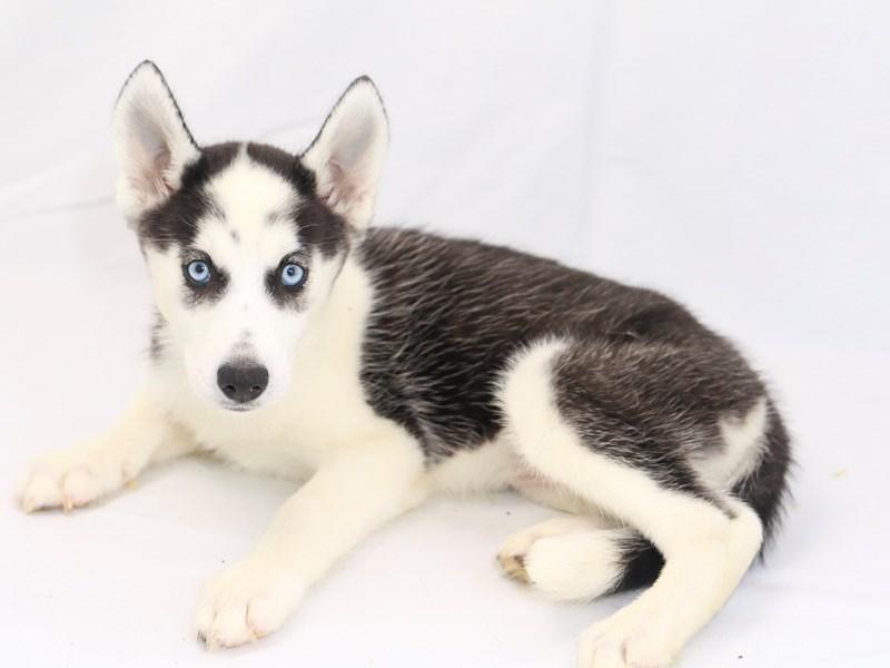 Siberian Husky-Female-Black / White-2423407-My Next Puppy