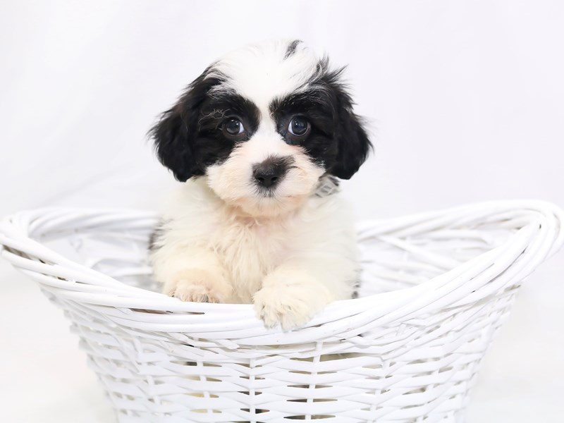 Teddy Bear-Male-Black / White-2423408-My Next Puppy