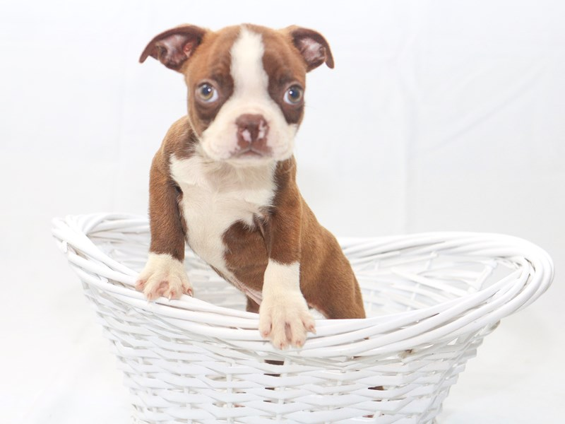 Boston Terrier-Male-Brown / White-2427790-My Next Puppy