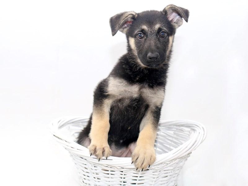 German Shepherd Dog – Ella