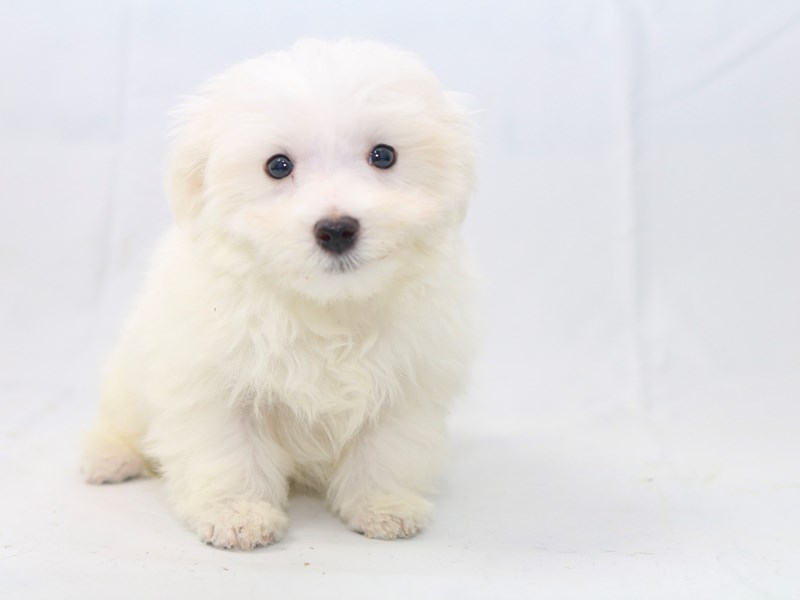 Maltese-Male-White-2427892-My Next Puppy