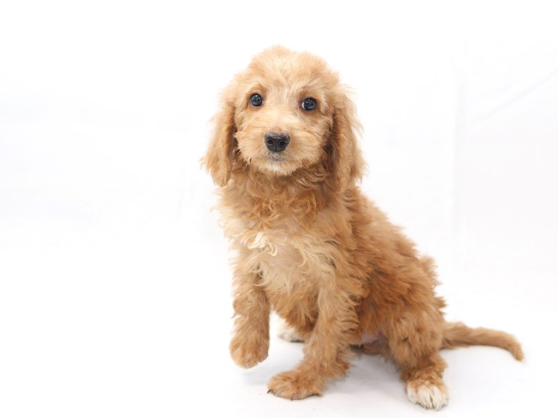 Miniature Goldendoodle-Female-Golden-2427897-My Next Puppy