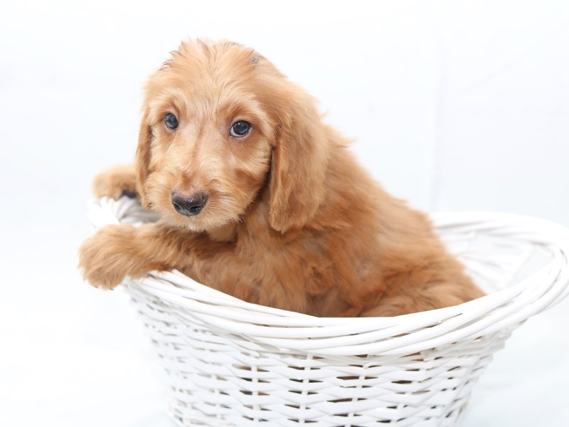 Miniature Goldendoodle-Male-Golden-2427898-My Next Puppy
