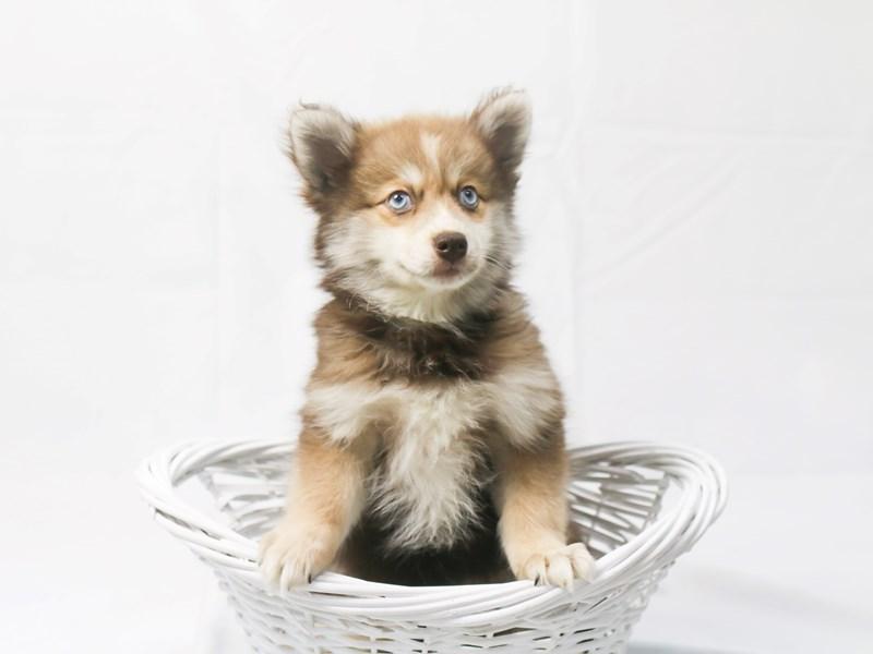 Pomsky-Female-Chocolate Merle-2427899-My Next Puppy