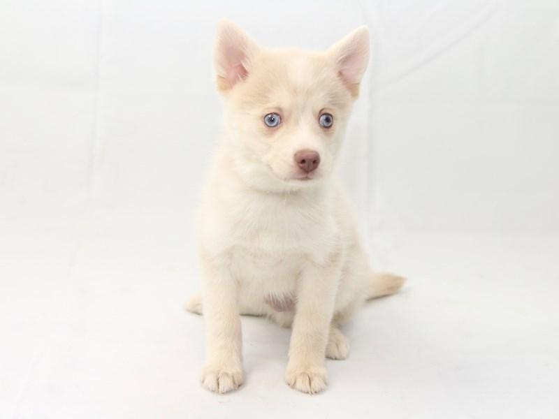 Pomsky-Male-Cream-2427902-My Next Puppy