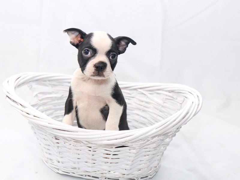Boston Terrier-Female-Black/White-2429976-My Next Puppy