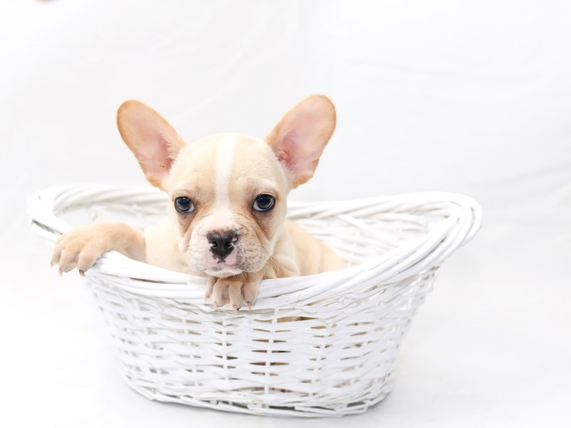 French Bulldog – Rudy