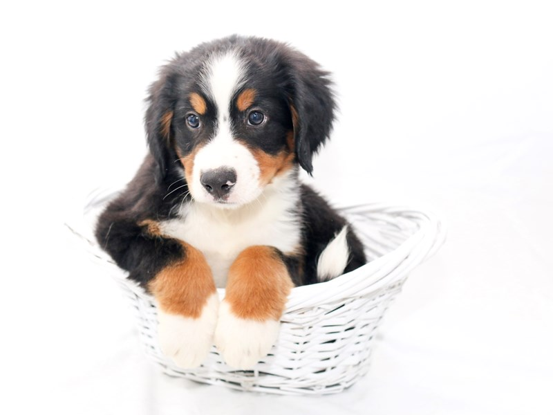 Bernese Mountain Dog-Male-Black Rust / White-2434131-My Next Puppy