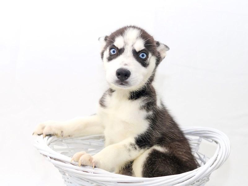 Siberian Husky – Riley