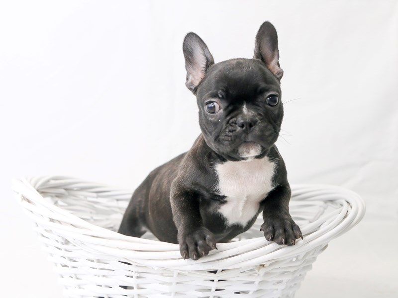 French Bulldog-Female-Black-2434133-My Next Puppy
