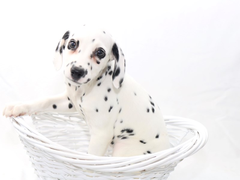 Dalmatian-Female-White / Black-2434166-My Next Puppy