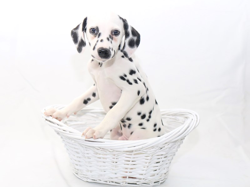 Dalmatian-Male-White / Black-2434167-My Next Puppy