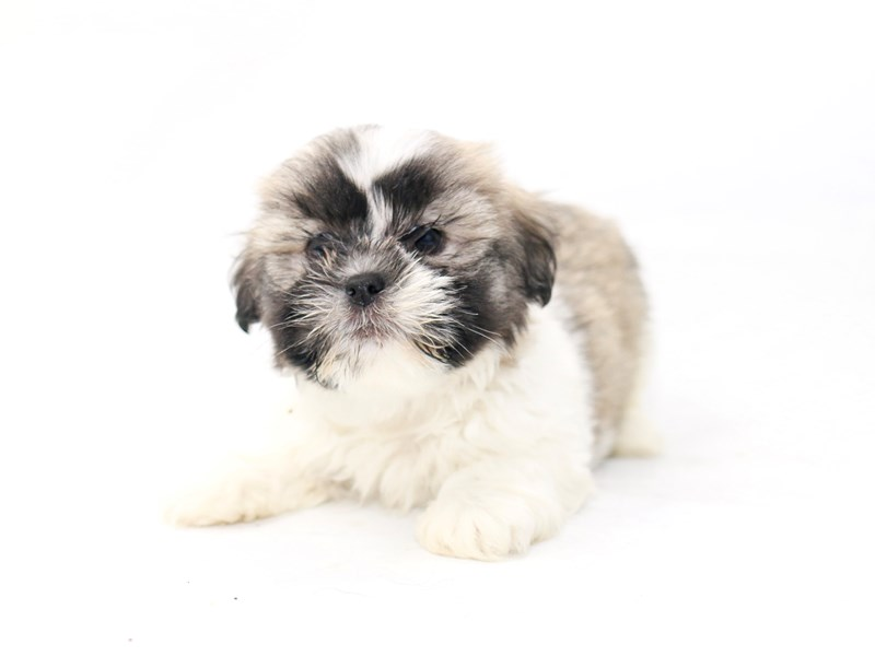 Lhasa Apso-Male-Cream-2434169-My Next Puppy