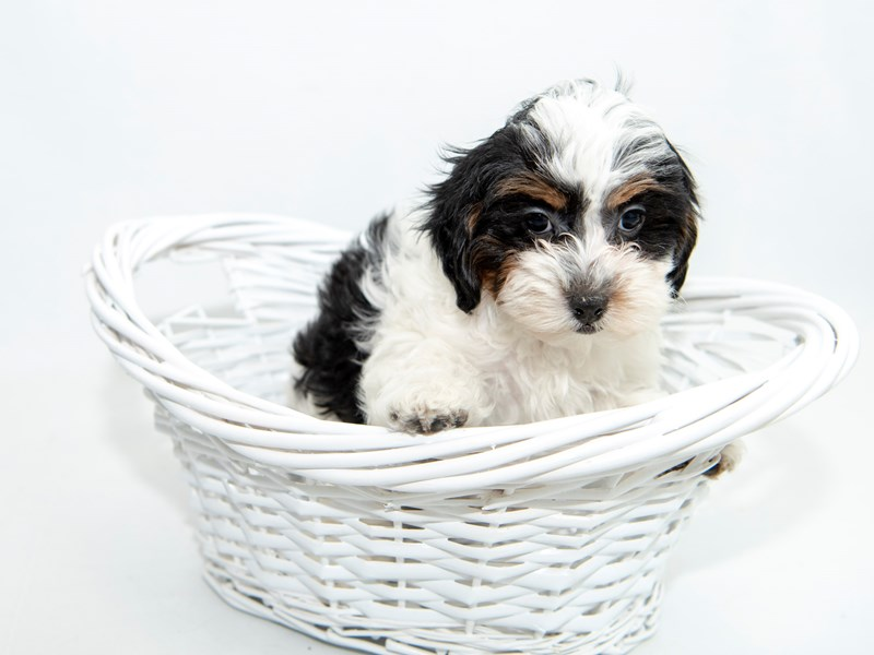 Shihpoo-Female-Black - White-2364524-My Next Puppy