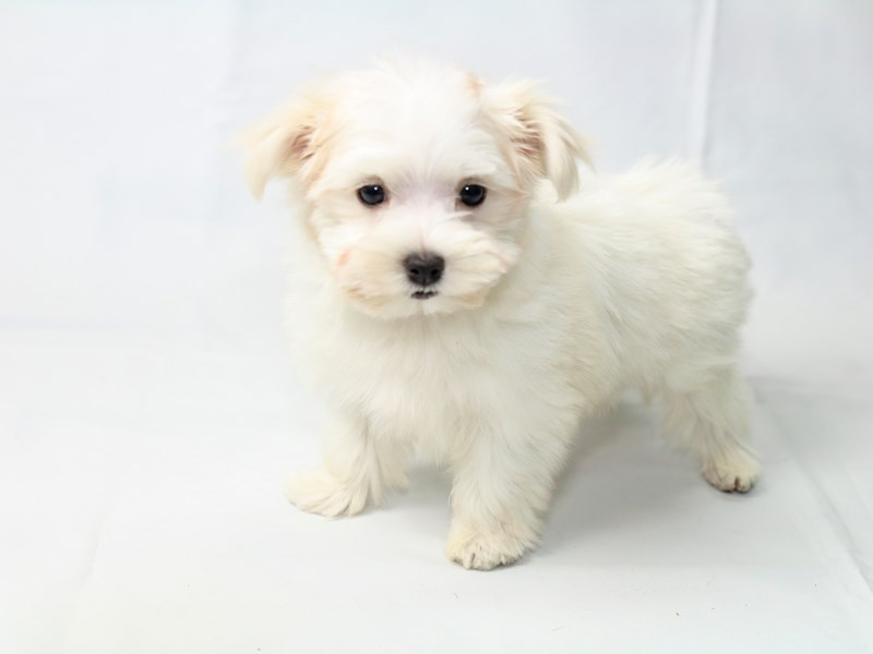 Maltese-Female-White-2410546-My Next Puppy