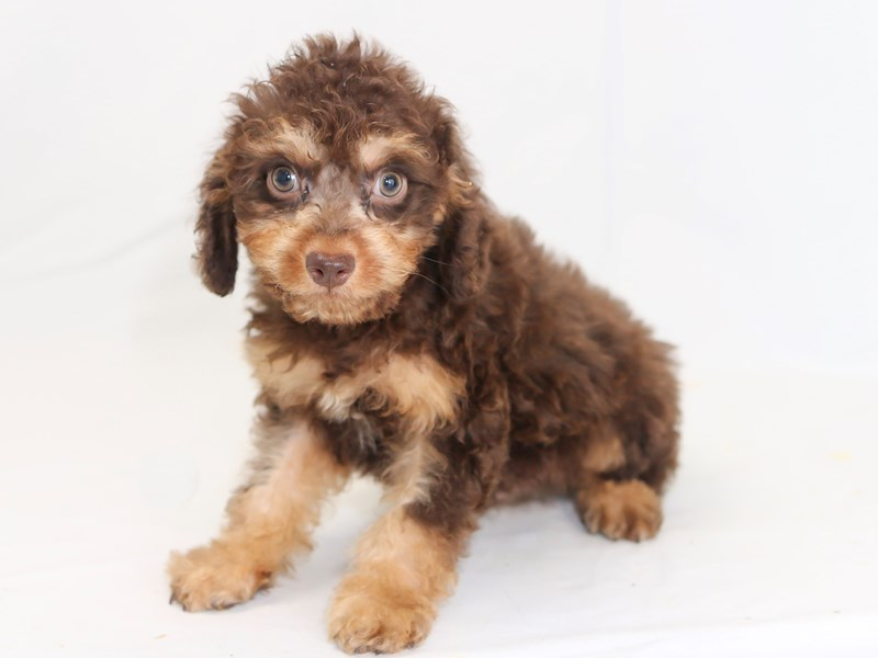 Poo Dog Male Red 2423313 My Next Puppy