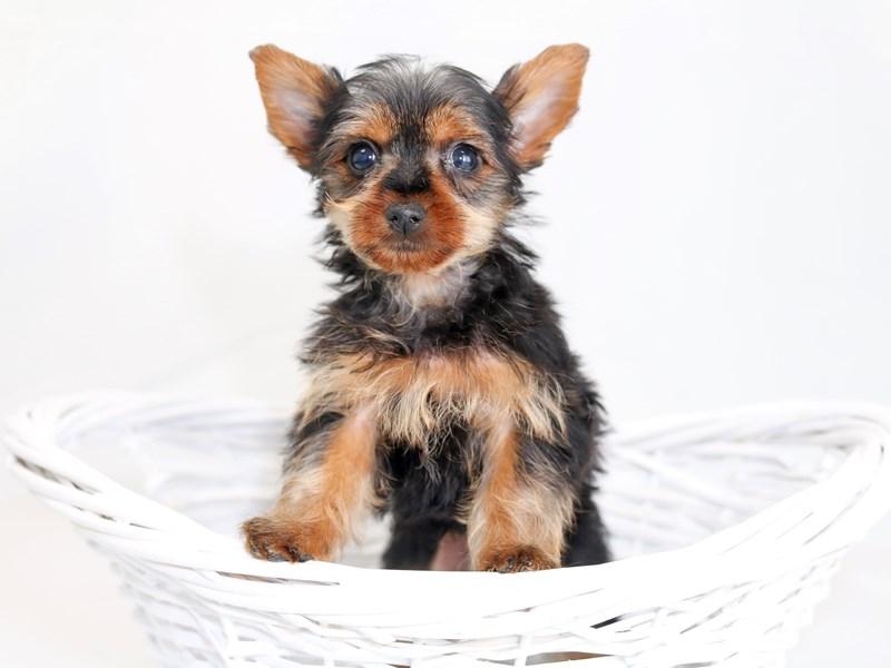 Yorkshire Terrier-Male-Black / Tan-2423318-My Next Puppy