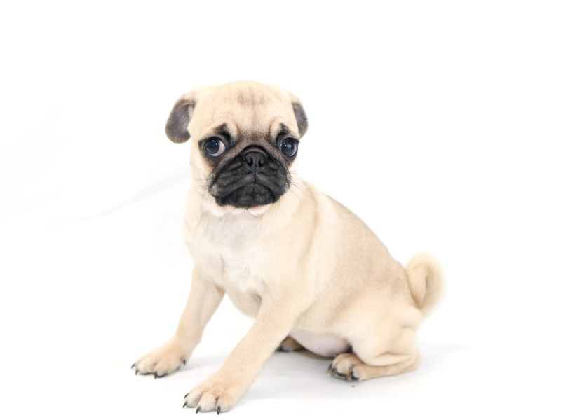 Pug-Female-Fawn-2423320-My Next Puppy